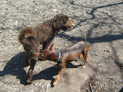 Alfie circling nose to tail with a miniature pinscher as they try to sniff each other