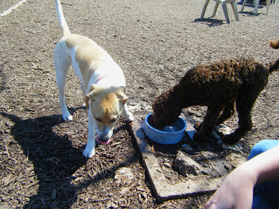 Alfie and a large tan-and-white dog get a drink from a bowl in the shade