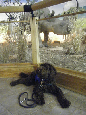 Alfie in a down/stay in front of a taxidermy exhibit featuring a huge rhino