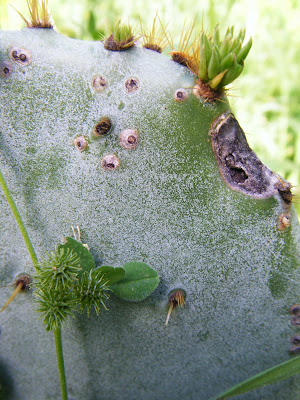 closeup of a prickly pear cactus, with its sharp, hairlike spines poking out all over