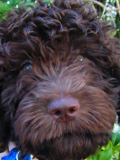 close-up of Alfie's face with large brown nose and curly chocolate fur