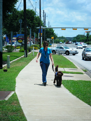 Alfie in his blue work jacket, tail wagging, walking along with me on the sidewalk near a busy intersection