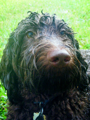 closeup of Alfie's face in the rain; his fur is very dark when it's wet, almost black, and his curls are laying down from the rain so you see his looong eyelashes sweeping out to the sides