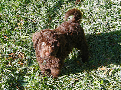 Alfie in the backyard at 8 weeks; he's just a little round mass of chocolate curls with tiny tail arched over his back and an inquisitive look on his face