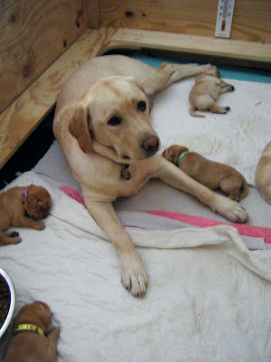 looking down into the whelping box, you can see Poppy, a light yellow lab with darker ears and very dark eyes, surrounded by several of her 8 tiny puppies