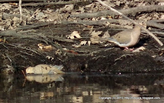 Mourning Doves, 11/29/10 Great Meadows - Concord