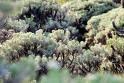 edelweis bunga abadi