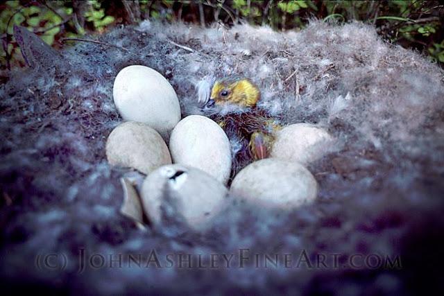 Canada Goose hatchling (c) John Ashley