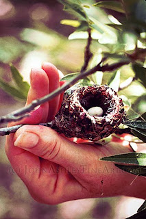 Hummingbird egg is small than a woman's thumbnail (c) John Ashley