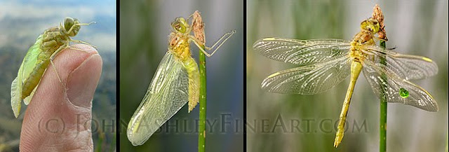 Dragonfly metamorphasis (c) John Ashley