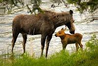 'Moose Mom'