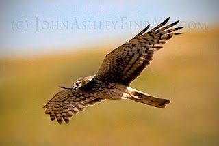 Female Northern Harrier delivers a stick while nest building (c) John Ashley