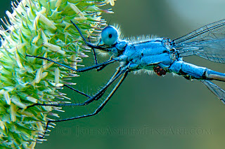 Red mites on a blue damselfly (c) John Ashley