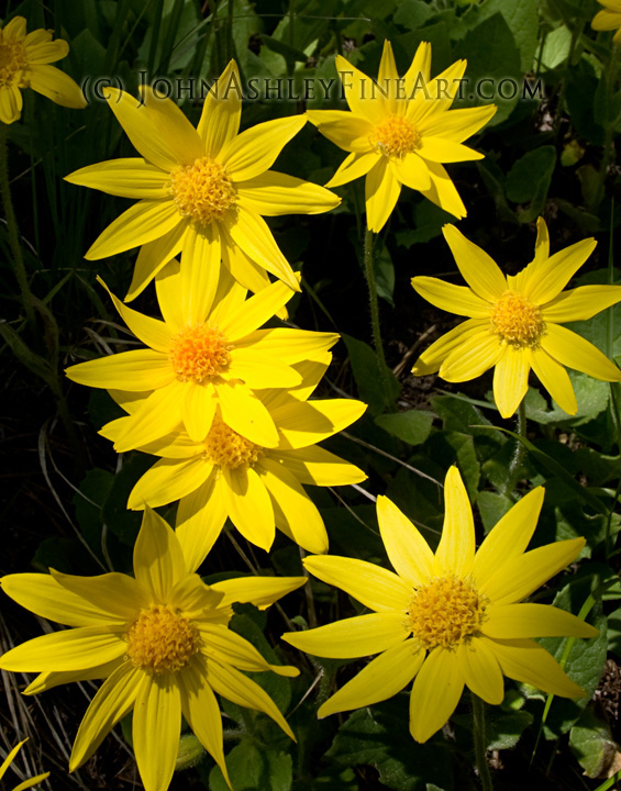Heart-leaved Arnica (c) John Ashley