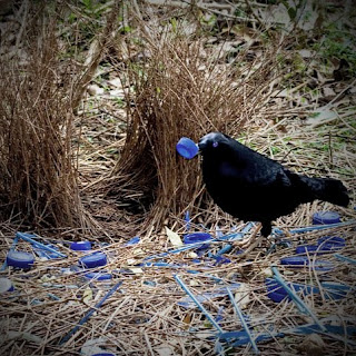 bowerbird at his bower