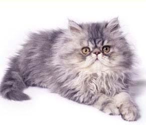 foto kucing persia 5