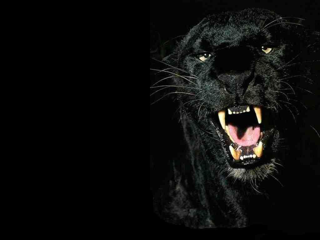 [Panther]