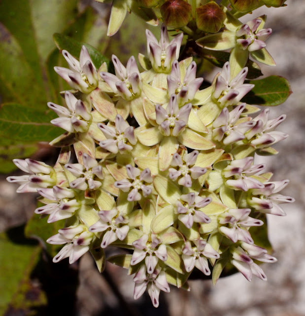 Asclepias curtisii