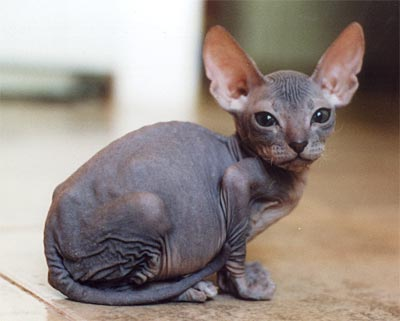 hairless+cat - KINDNESS TO HUMANS Is Kindness to Animals - General Topic