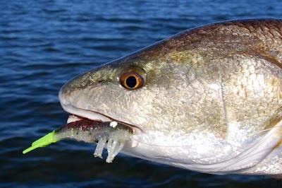 redfish with D.O.A. shrimp