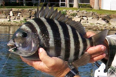 sheepshead on fly