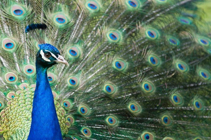 peacocks nuisance