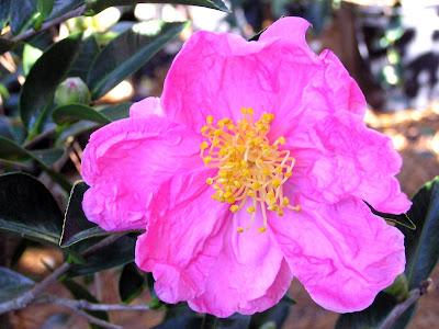 Camellia 'Moon Festival'