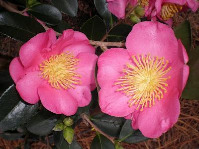 Camellia 'Mikuniko'
