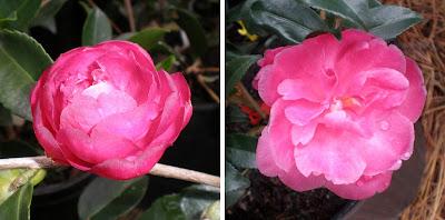Camellia 'Hienko'