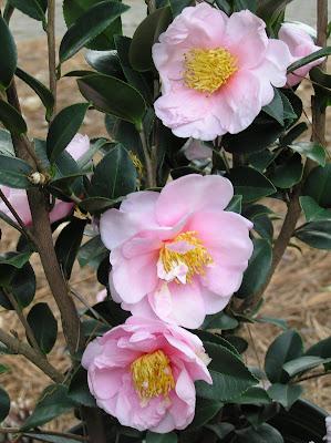 Camellia 'Pink Goddess'