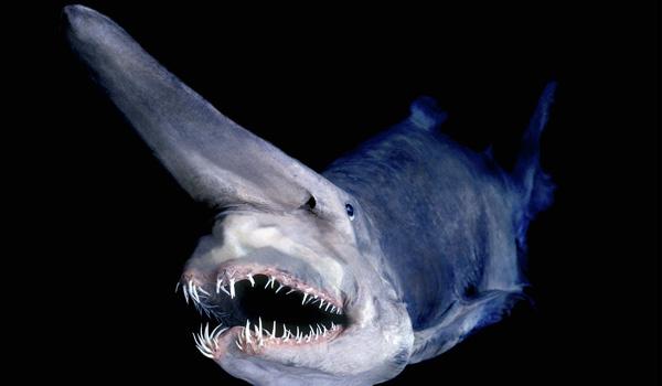 [goblin-shark.jpg]