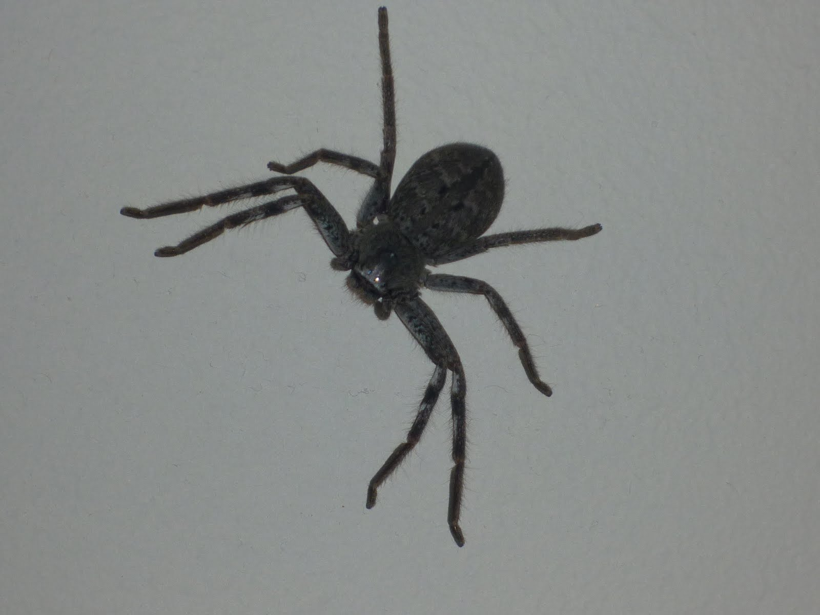 Small Black Fuzzy Spider http://slowgardener.blogspot.com/2010/12/tool-for-relocating-spiders.html