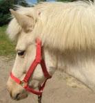 Charm, Icelandic Horse
