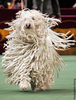 [komondor+dog.bmp]