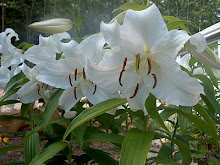 Madonna lilies in our garden
