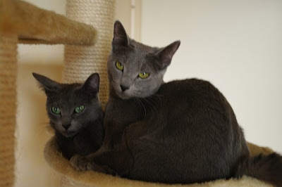 Russian Blue Cats Darisha and Camelia