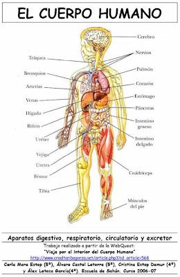 Cuerpo humano con sus partes en ingles imagui for Cuerpo humano interior