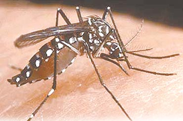 Dengue Fever Mosquitoes