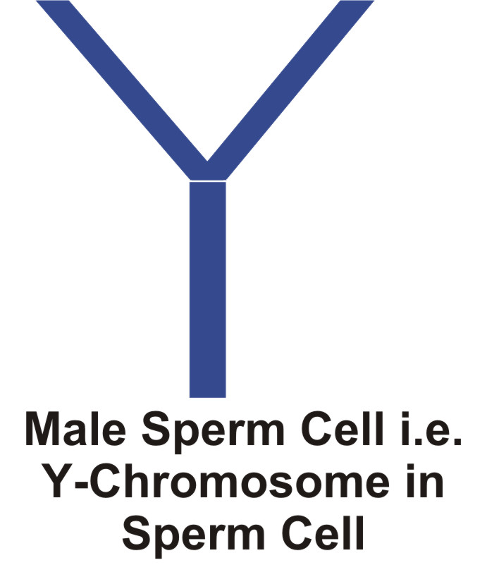 XY-chromosomes and XX-chromosomes Baby's Sex Determination