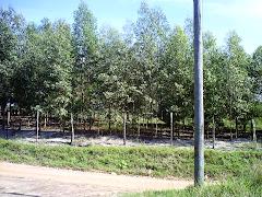 Plantação de Eucaliptos