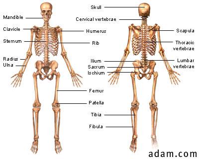 36-1 skeletal system pdf - lyousiloci39\'s soup