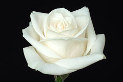 given a single white rose.