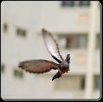 Pigeon Voyageur Colombophilie