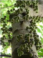 Buah Ficus sp., salah satu makanan kesukaan anoa