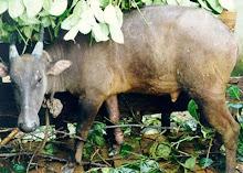 Anoa dataran rendah jantan dewasa, Tanjung Peropa