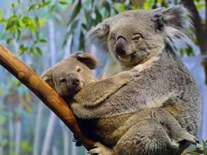 Koala (Phasclarctas Cinereus)