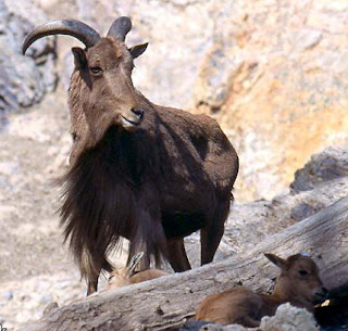 Barbary Sheep (Ammotragus lervia)