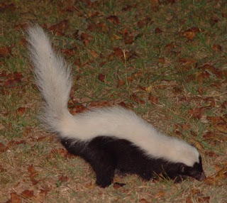 Common Hog-nosed Skunk (Conepatus mesoleucus)