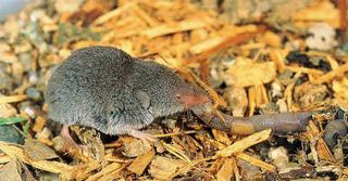 Least Shrew (Cryptotis parva)