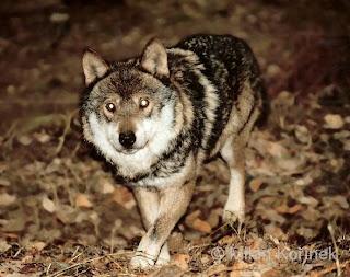 Gray Wolf (Canis lupus Linnaeus)
